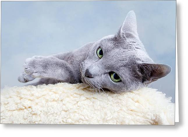Purebreds Greeting Cards - Russian Blue Cat Greeting Card by Nailia Schwarz