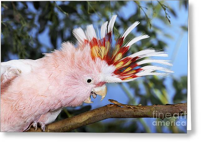 Salmon-crested Or Moluccan Cockatoo Greeting Card by Gerard Lacz