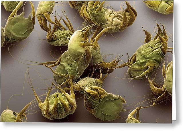 Scanning Electron Micrograph Greeting Cards - Sarcoptic Mange Mites, Sem Greeting Card by Steve Gschmeissner