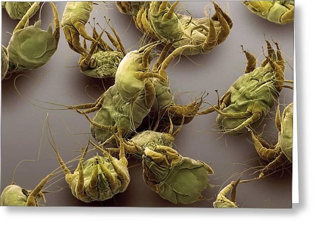 Invertebrates Greeting Cards - Sarcoptic Mange Mites, Sem Greeting Card by Steve Gschmeissner