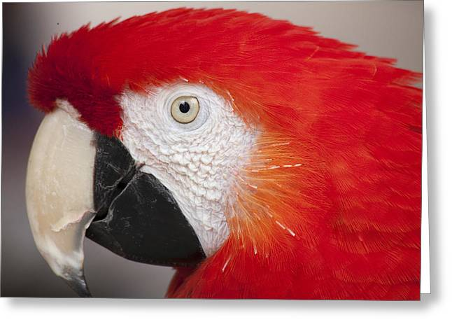 Chatty Greeting Cards - Scarlet Macaw perched at a local plaza Greeting Card by Malisa Nicolau
