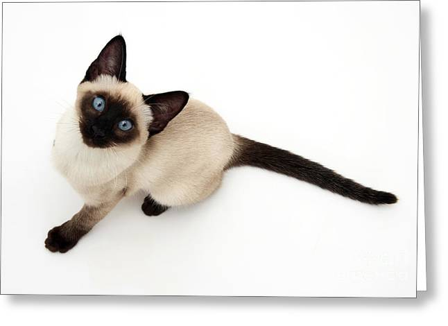 Animal Portraits Photographs Greeting Cards - Siamese Kitten Greeting Card by Jane Burton