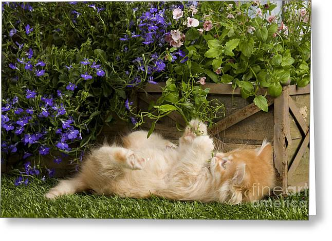 Cat On Back Greeting Cards - Siberian Kitten Greeting Card by Jean-Michel Labat