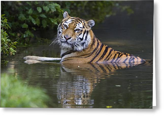 Tigris Greeting Cards - Siberian Tiger Panthera Tigris Altaica Greeting Card by Konrad Wothe