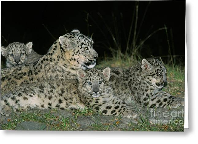 Snow Leopard Or Ounce Uncia Uncia Greeting Card by Gerard Lacz