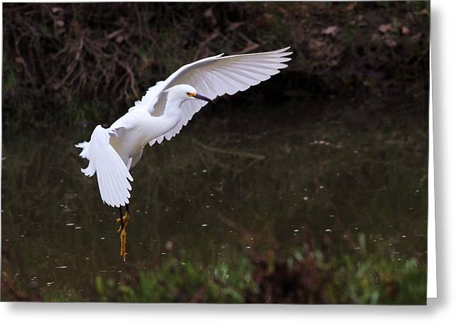 White Photographs Greeting Cards - Snowy Egret Greeting Card by Elka Lange