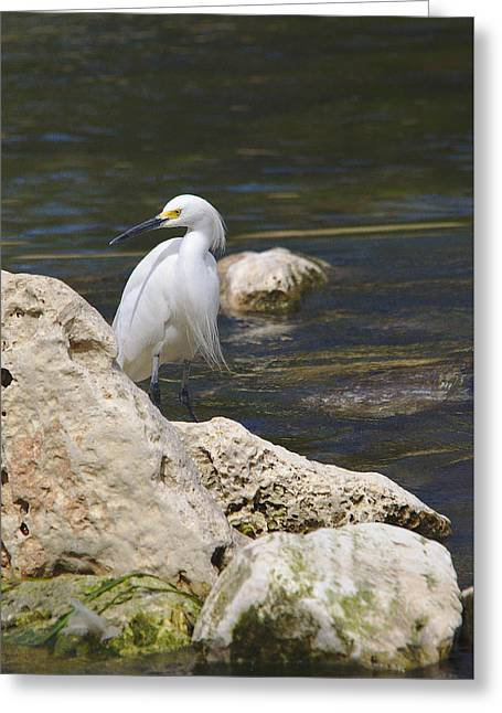 Hunting Bird Greeting Cards - Snowy Egret Hunting Greeting Card by Roy Williams
