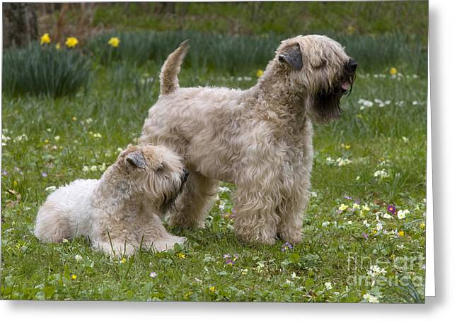 Bred Greeting Cards - Soft-coated Wheaten Terriers Greeting Card by Jean-Louis Klein & Marie-Luce Hubert