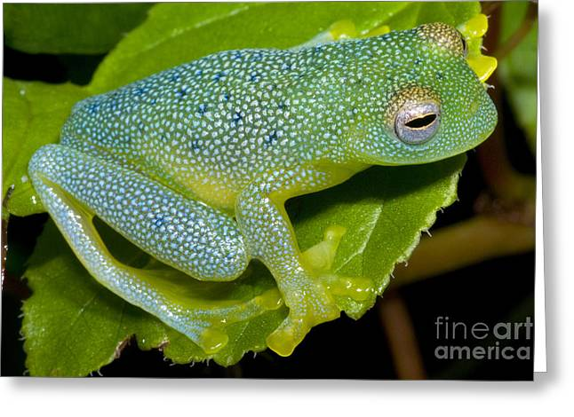 Anuran Greeting Cards - Spiny Glass Frog Greeting Card by Dante Fenolio