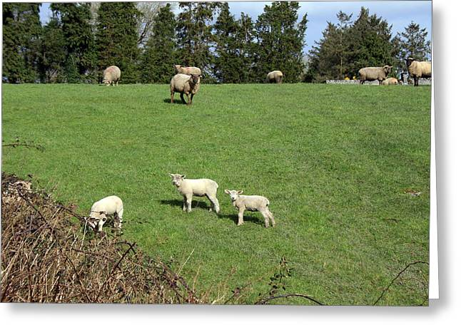 Lambing Greeting Cards - Spring in Ireland Greeting Card by John Quinn