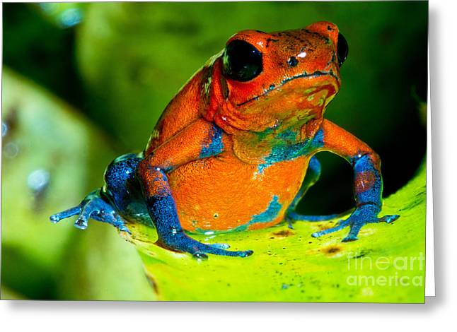Strawberry Poison Dart Frog Greeting Card by Dant� Fenolio