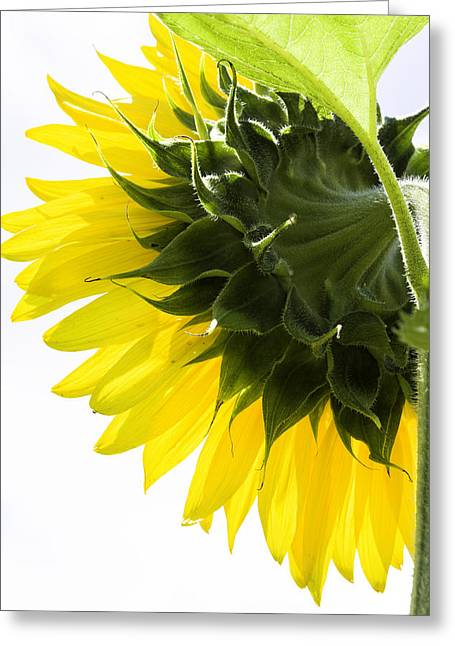 Griswold Connecticut Greeting Cards - Sunflower Greeting Card by Fran Gallogly