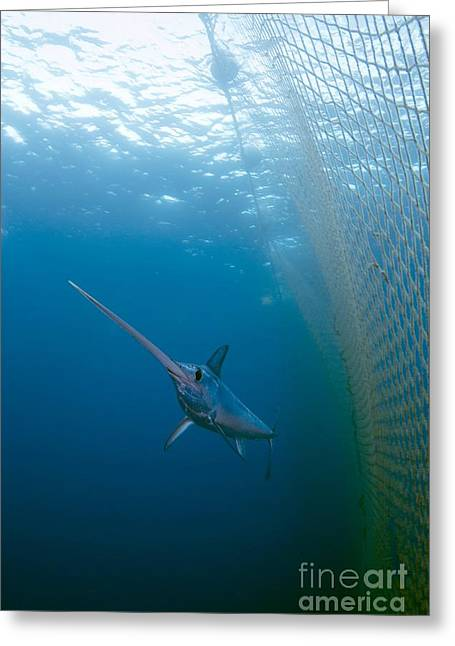 Swordfish Photographs Greeting Cards - Swordfish Swimming In A Fishing Net Greeting Card by Angel Fitor