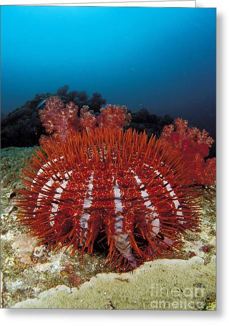Photos Of Coral Greeting Cards - Thailand, Marine Life Greeting Card by Dave Fleetham - Printscapes