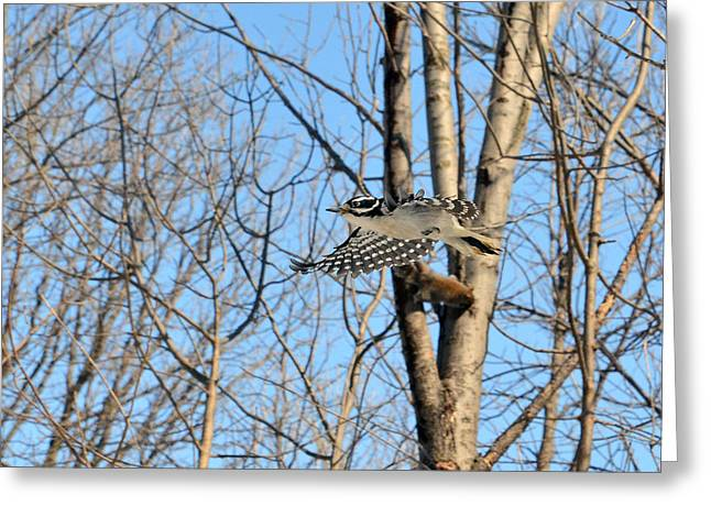 Greeting Cards - The Hairy Woodpecker in-flight Greeting Card by Asbed Iskedjian