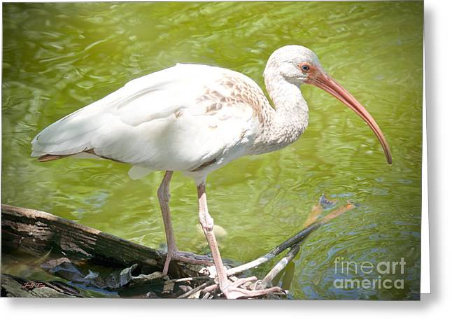Wild Birds Greeting Cards - The Naturale Greeting Card by Judy Kay