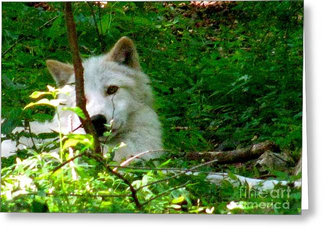 Wolf From The Forest Greeting Cards - The Wild Wolve Group B Greeting Card by Debra     Vatalaro