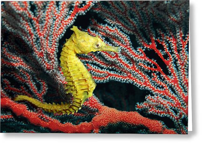 Sea Fan Greeting Cards - Thorny Seahorse Greeting Card by Georgette Douwma