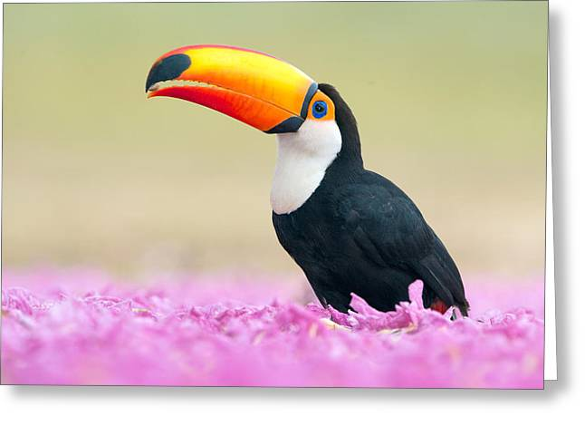 Animal Body Part Greeting Cards - Toco Toucan Ramphastos Toco, Pantanal Greeting Card by Panoramic Images