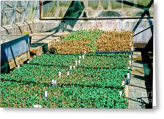 Uc Davis Greeting Cards - Transgenic Cotton Plants Greeting Card by Inga Spence