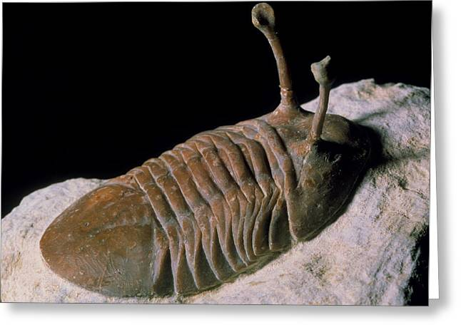 Fossil Greeting Cards - Trilobite Fossil Greeting Card by Sinclair Stammers