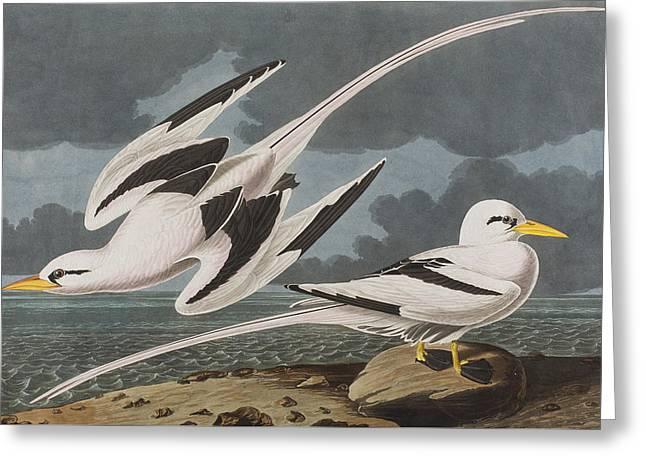 Tropic Greeting Cards - Tropic Bird Greeting Card by John James Audubon