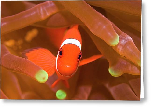 Tropical fish Clownfish Greeting Card by MotHaiBaPhoto Prints