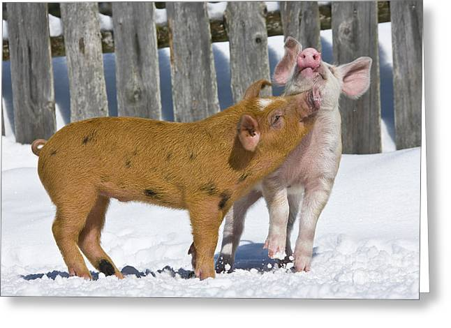 Litter Mates Photographs Greeting Cards - Two Piglets Playing Greeting Card by Jean-Louis Klein & Marie-Luce Hubert