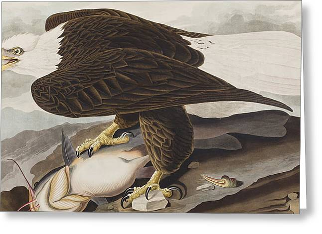 Whites Drawings Greeting Cards - White-headed Eagle Greeting Card by John James Audubon