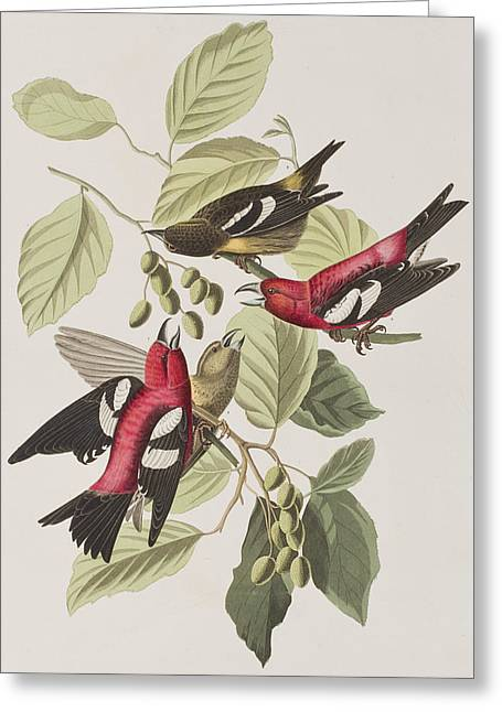 White Wing Greeting Cards - White-winged Crossbill Greeting Card by John James Audubon