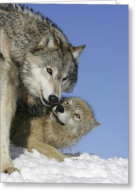 Male Dominated Greeting Cards - Wolf Social Behavior Greeting Card by Jean-Louis Klein & Marie-Luce Hubert