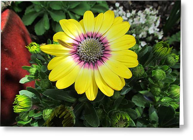 Greeting Cards - Yellow Daisy Greeting Card by Joyce Woodhouse