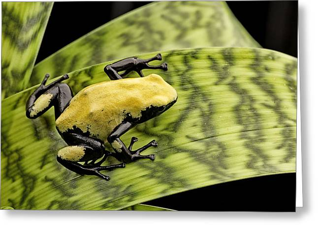 Frogs Photographs Greeting Cards - yellow poison dart frog Brazil Rain forest Greeting Card by Dirk Ercken