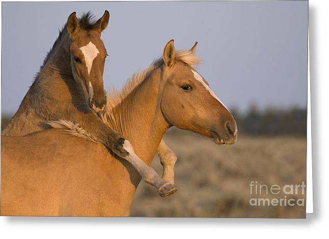 Yearling Horse Greeting Cards - Young Mustangs Playing Greeting Card by Jean-Louis Klein & Marie-Luce Hubert