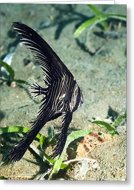 Batfish Greeting Cards - Zebra Batfish Greeting Card by Georgette Douwma