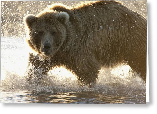 Back Lighting Greeting Cards - Grizzly Bear Ursus Arctos Horribilis Greeting Card by Matthias Breiter