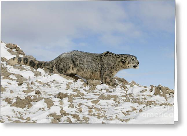 Growling Greeting Cards - Snow Leopard Greeting Card by Jean-Louis Klein & Marie-Luce Hubert
