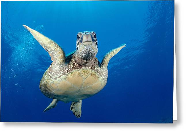 Underside Greeting Cards - Green Sea Turtle Greeting Card by Dave Fleetham - Printscapes