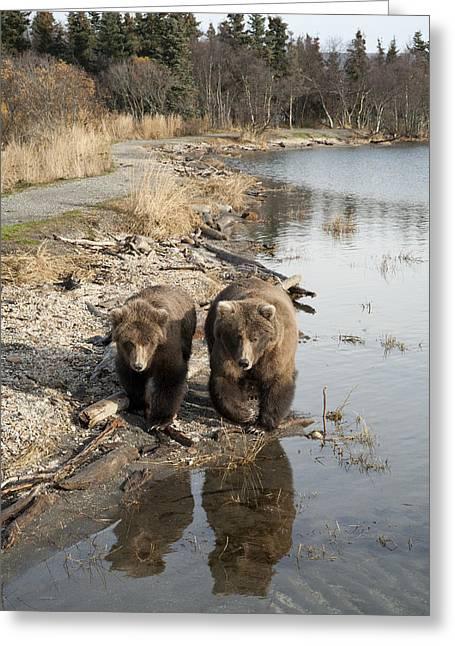 Yearling Greeting Cards - Grizzly Bear Ursus Arctos Horribilis Greeting Card by Matthias Breiter