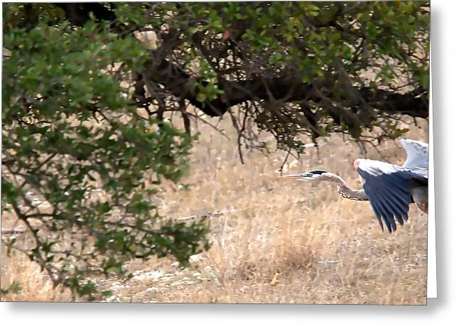 Fishing Creek Greeting Cards - Great Blue Heron In Flight Greeting Card by Roy Williams