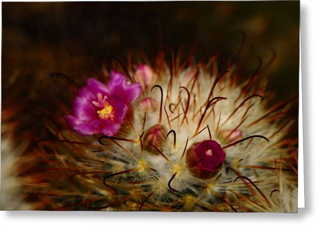 Pin Cushion Flower Greeting Cards - Blooming Cactus Greeting Card by Chris Wolters