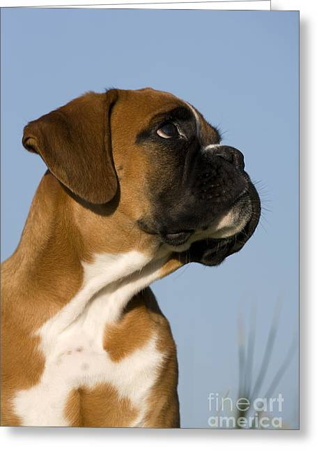 Boxer Shorts Greeting Cards - Boxer Puppy Greeting Card by Jean-Louis Klein & Marie-Luce Hubert