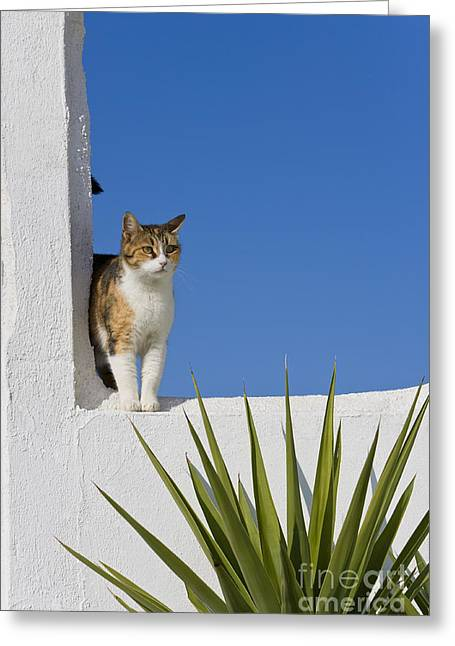 Tortie Greeting Cards - Cat On A Greek Island Greeting Card by Jean-Louis Klein & Marie-Luce Hubert