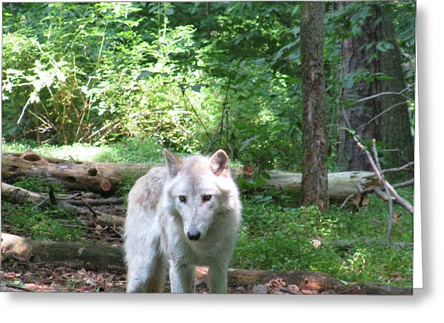 Wolf From The Forest Greeting Cards - The Wild Wolve Group A Greeting Card by Debra     Vatalaro