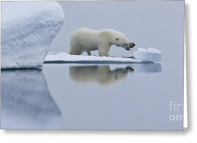 Ocean Mammals Greeting Cards - Polar Bear In Svalbard Greeting Card by Jean-Louis Klein & Marie-Luce Hubert
