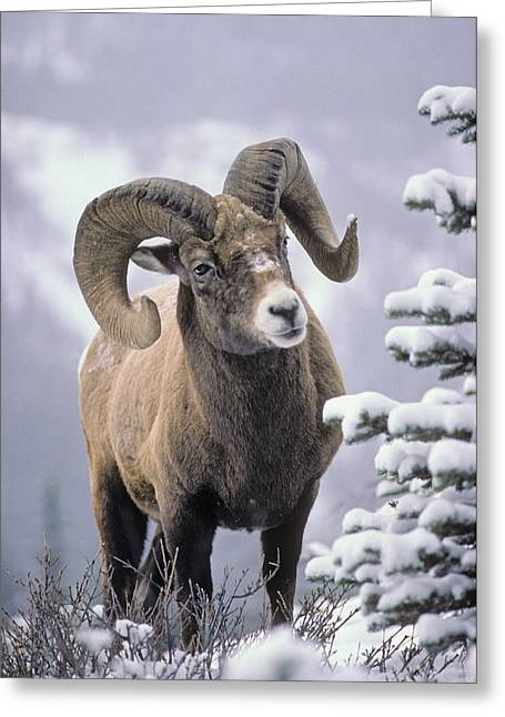 Out-of-door Greeting Cards - 25084, Bighorn Sheep, Winter, Jasper Greeting Card by First Light