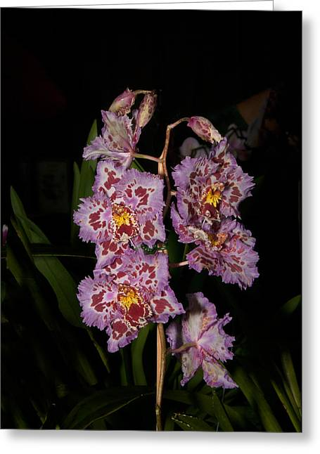 Cattleya Greeting Cards -  Cattleya Style Orchids Greeting Card by Carol Ailles