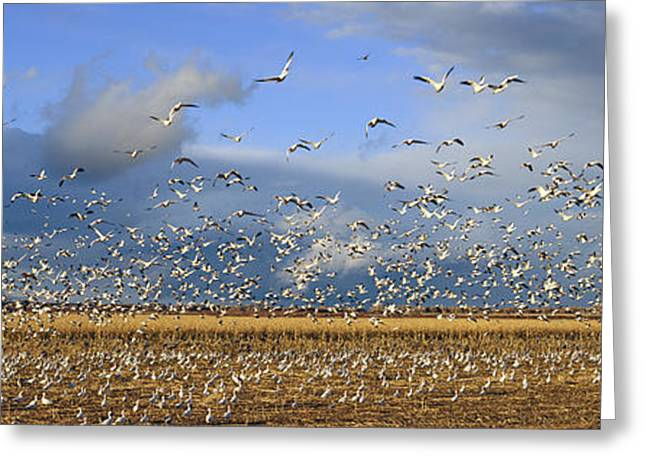 Sandhill Crane Greeting Cards - A Panoramic Of Thousands Of Migrating Greeting Card by Panoramic Images