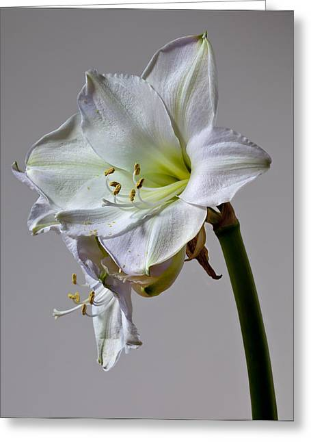 Flower Design Pyrography Greeting Cards - Amaryllis 2 Greeting Card by Robert Ullmann