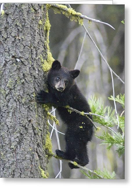 Black Bear Climbing Tree Greeting Cards - American Black Bear Ursus Americanus Greeting Card by Rich Reid